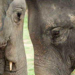 Two Elephants at the Samui Elephant Haven