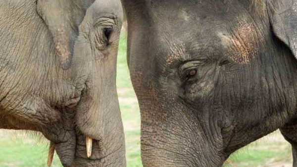 Two Elephants at the Samui Elephant Haven