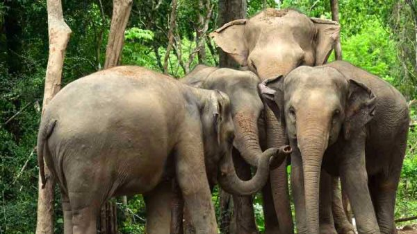 Elephants from the Herd at the Samui Elephant Haven