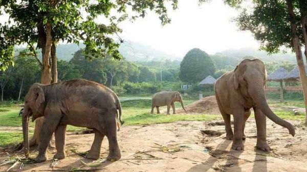 Some Elephants from the Herd at Samui Elephant Haven