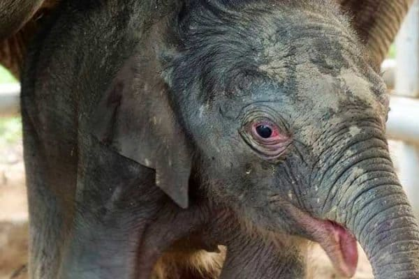A Newborn Baby Elephant Boy Born at Samui Elephant Haven