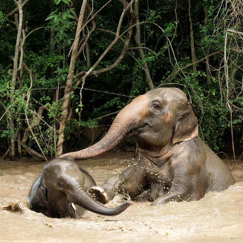 Koh Samui Rescued Elephants Aom and Perm Poon