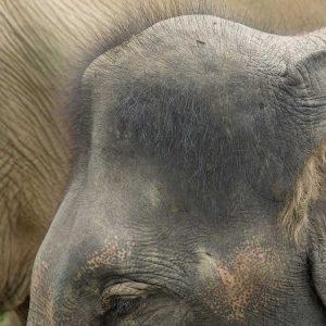 Interesting Elephant Facts 6