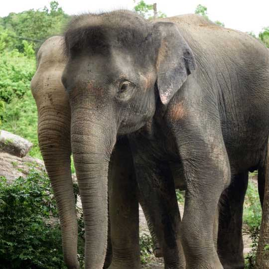 Koh Samui Rescued Elephant Kwan Samui