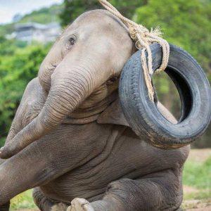 Koh Samui Rescued Elephant Moloair