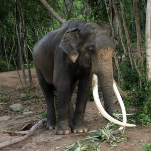 Koh Samui Rescued Elephant Plai Bang