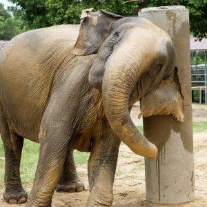 Koh Samui Rescued Elephant Somboon