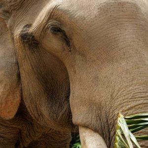 Koh Samui Rescued Elephant Sorn Ram