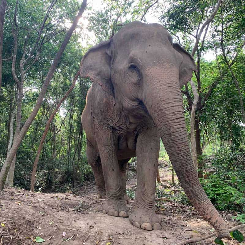 Koh Samui Rescued Elephant Sri Nin