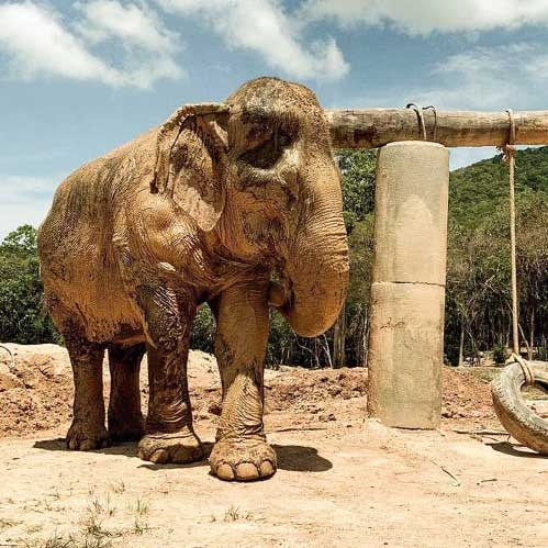 Koh Samui Rescued Elephant Sri Nuan