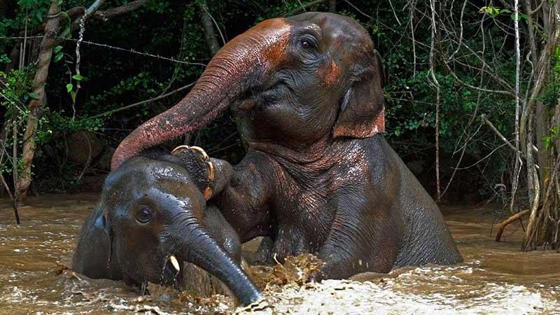 Two Samui Elephant Haven Elephants Bathing Naturally