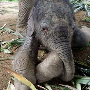 Koh Samui Baby Elephant Haven