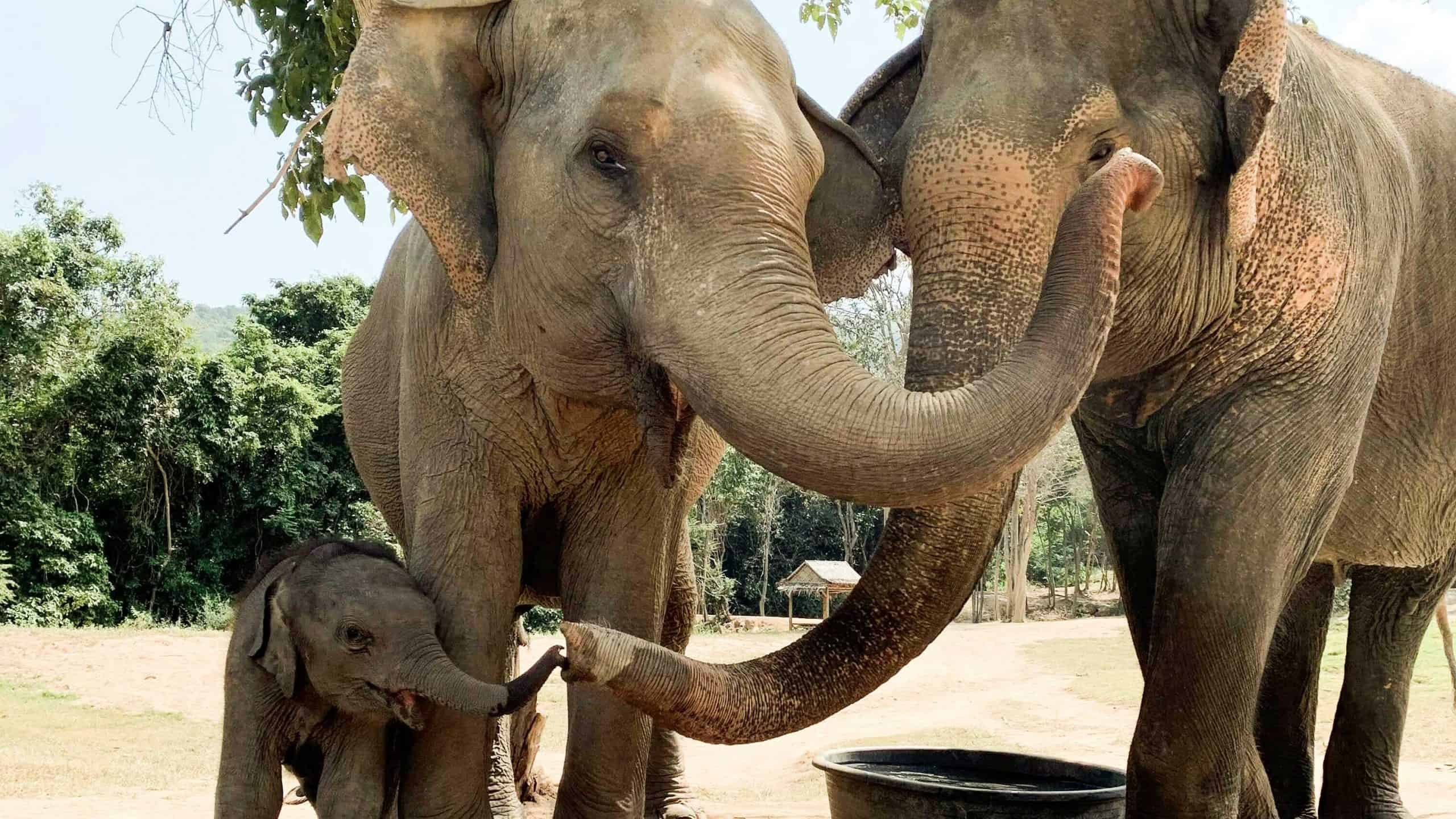 Baby Elephant Haven Being Accepted into the Herd at Samui Elephant Haven