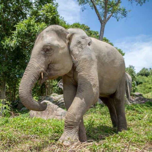 Koh Samui Rescued Elephant Nong Pech