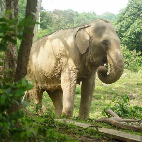 Koh Samui Rescued Elephant Sudarat