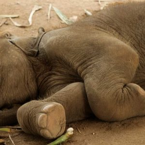 Baby Elephant Haven and His Dainty Feet