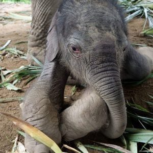 Koh Samui Baby Elephant Haven