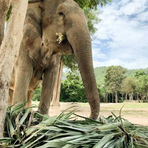 Samui Elephant Haven Support Pineapple Tops