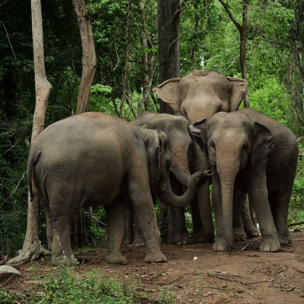 Samui Elephant haven feed the Giants