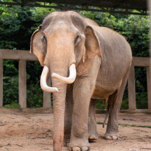 Sponsor An Elephant 11